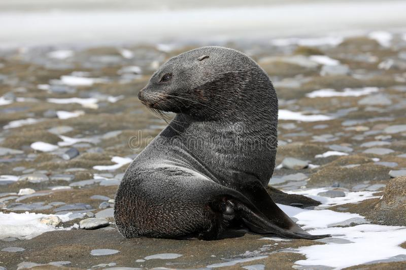 A young fur seal on Salisbury Plain on South Georgia royalty free stock photography