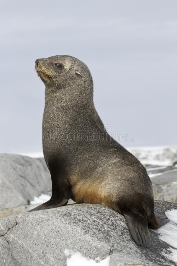 Download Young Fur Seal Sitting On The Rocks Stock Image - Image: 41534081