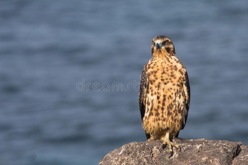 Download Young Galapagos Hawk stock photo. Image of ecuador, hawk - 22106852