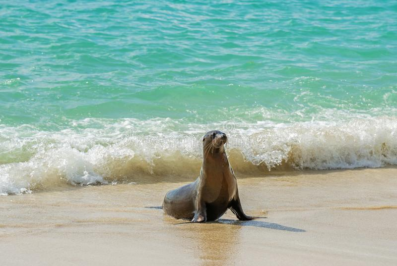 Young Galapagos Sea Lion, Galapagos Islands, Ecuador. A young Galapagos Sea Lion Zalophus wollebaeki coming out of the turquoise crystal clear waters of the stock image