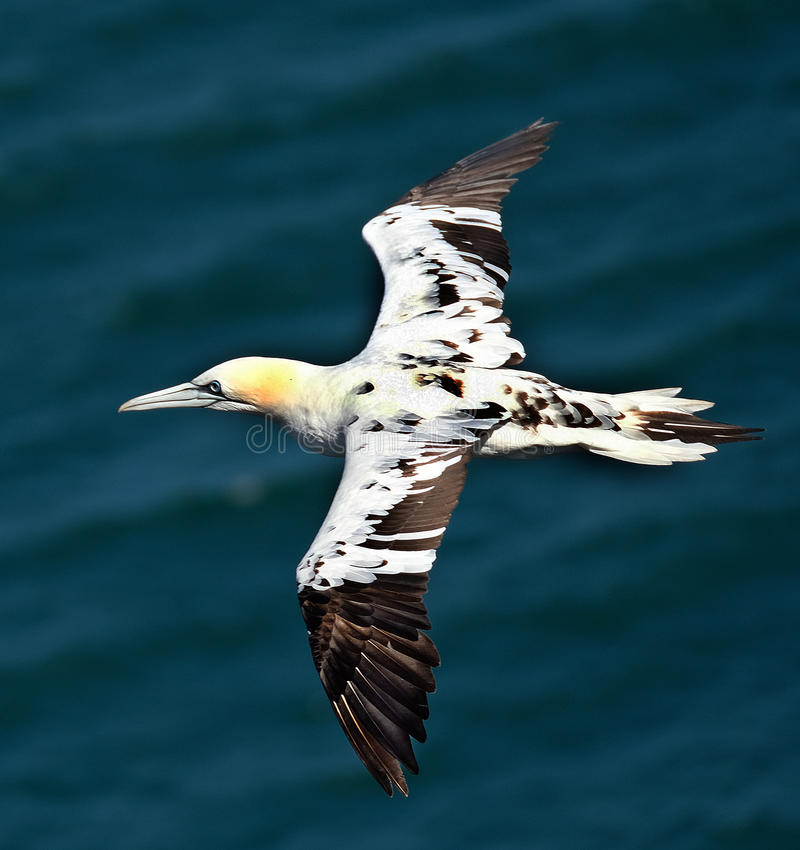 Young gannet in flght. stock photography
