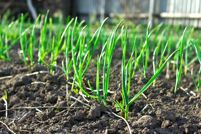 Young garlic on the garden beds stock photography