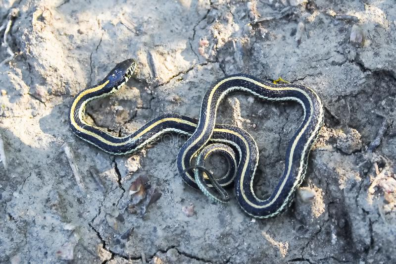 A young garter snake basking on cracked muddy ground.  stock photography