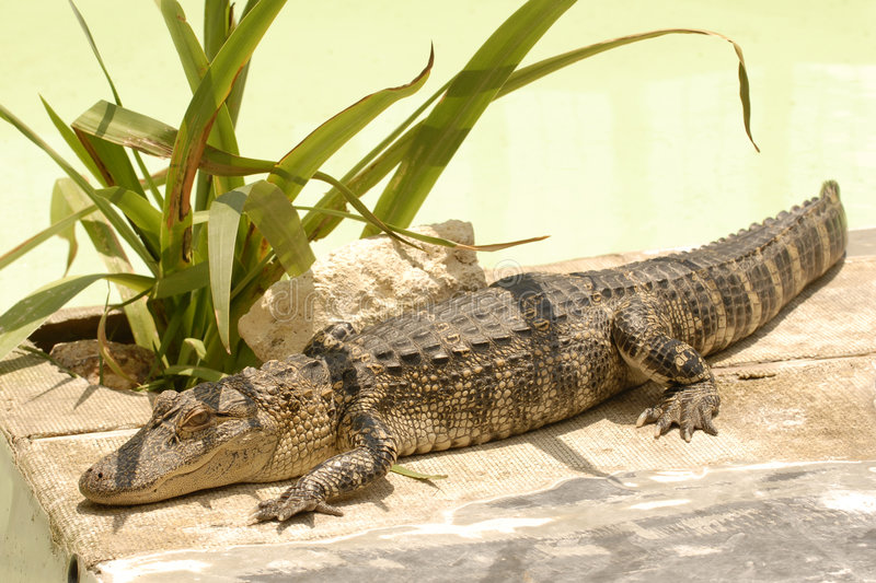 Young gator. A juvenile gator sunning on the bottom of an overturned boat in Orlando, Florida royalty free stock images