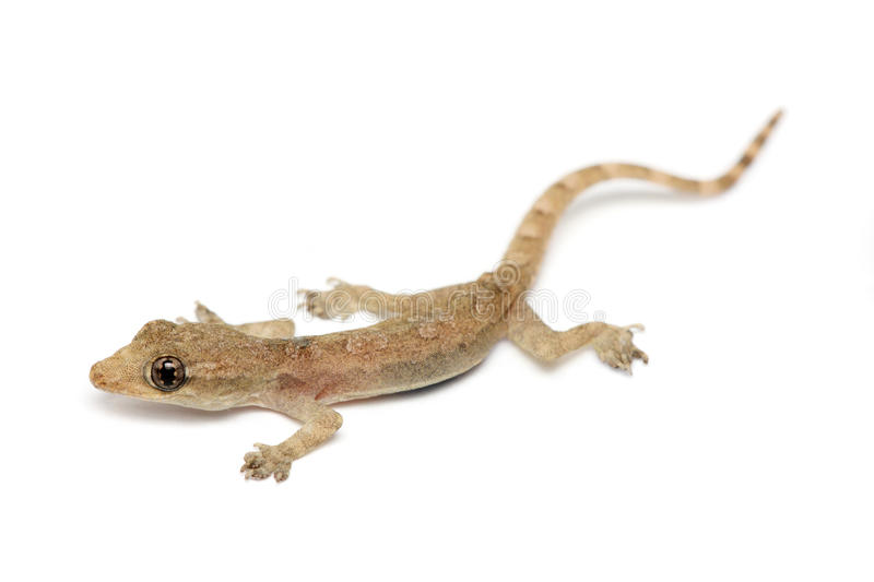 Young Gecko royalty free stock images