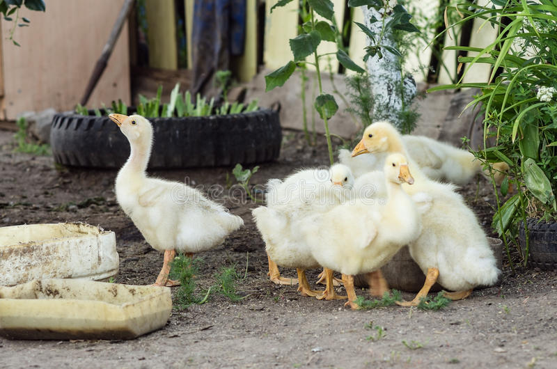 Young geese in the yard of the rural house. Photographed in Russia, in the yard of the rural house royalty free stock images