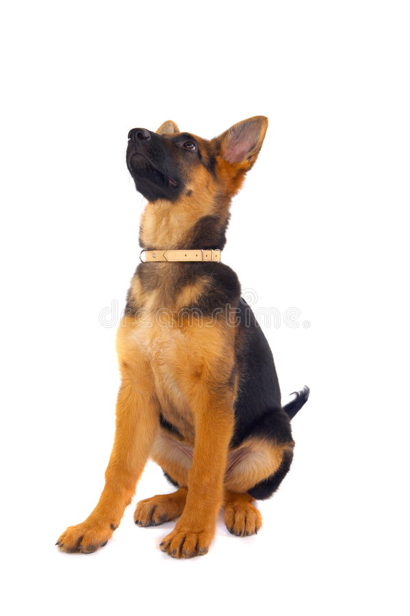 Young German Shepard royalty free stock photography