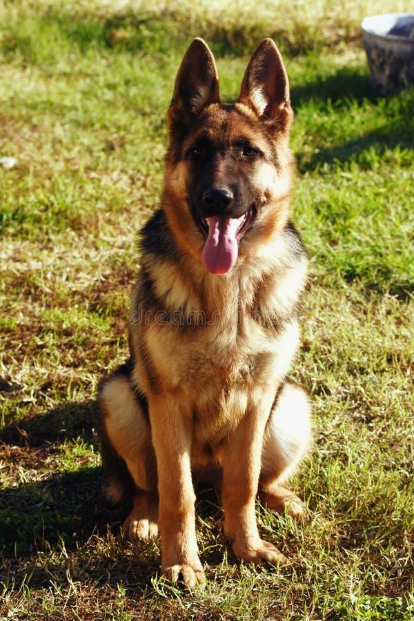 Young German Shepherd Dog royalty-vrije stock afbeeldingen