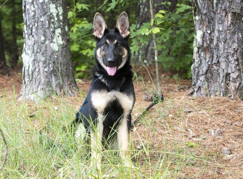 Young German Shepherd K9 Police Dog in training royalty free stock image