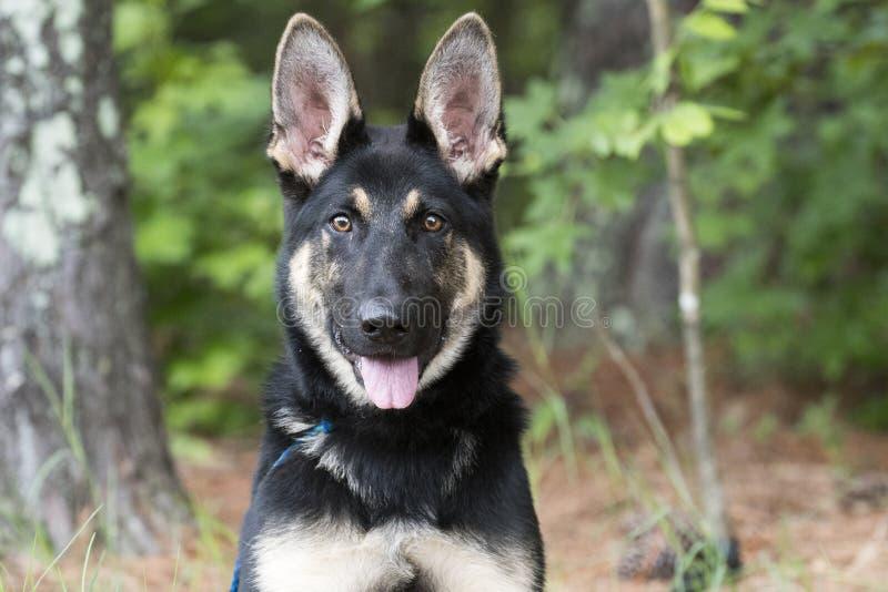 Young German Shepherd K9 Police Dog in training stock photos