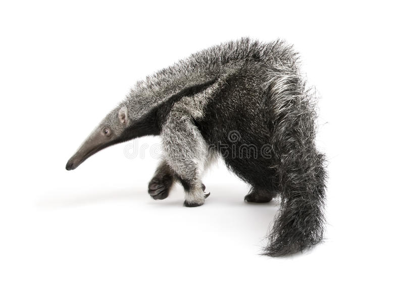 Download Young Giant Anteater Against White Background Stock Image - Image: 10930067