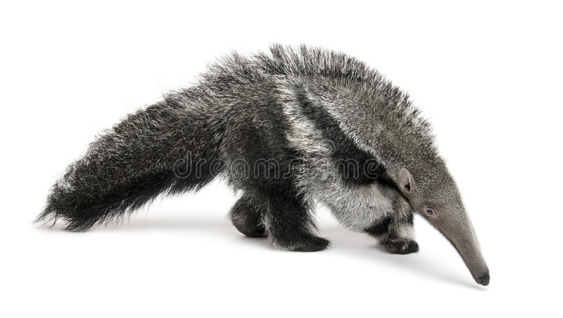 Young Giant Anteater against white background royalty free stock photos