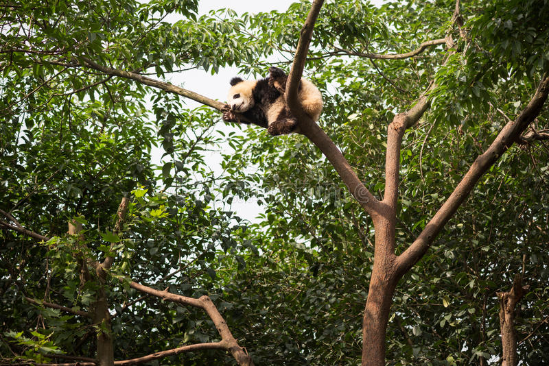 Young giant panda sleeping at the top of a tree. Chengdu, Sichuan Province, China stock photography