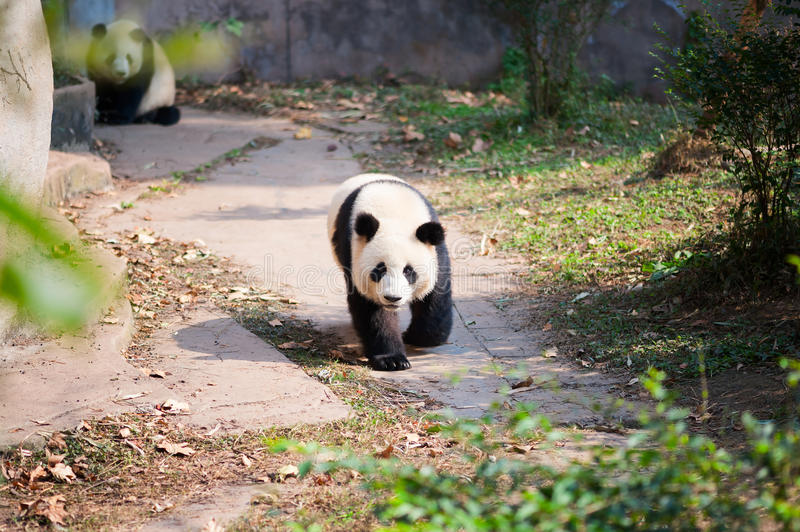 Young giant panda walking on a path with another panda in the ba. Ckground, Chengdu, Sichuan Province, China stock photography