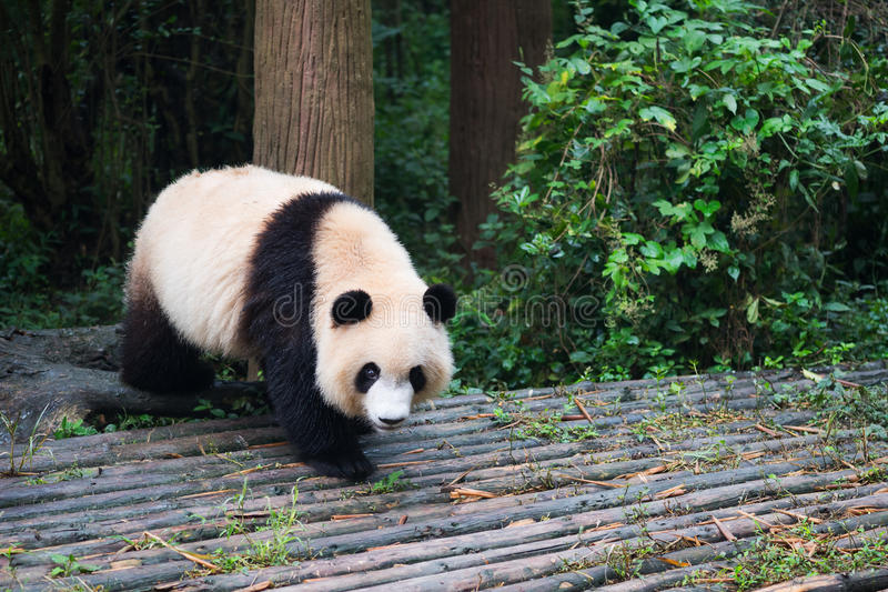 Young giant panda walking on wood. Chengdu, Sichuan Province, China royalty free stock photo