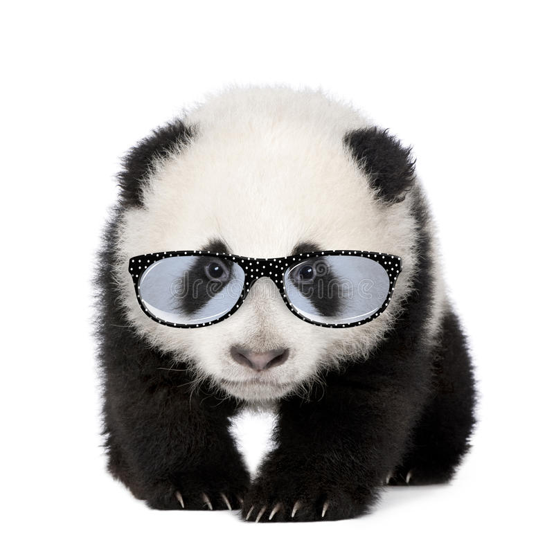 Young Giant Panda wearing glasses. In front of a white background royalty free stock photography