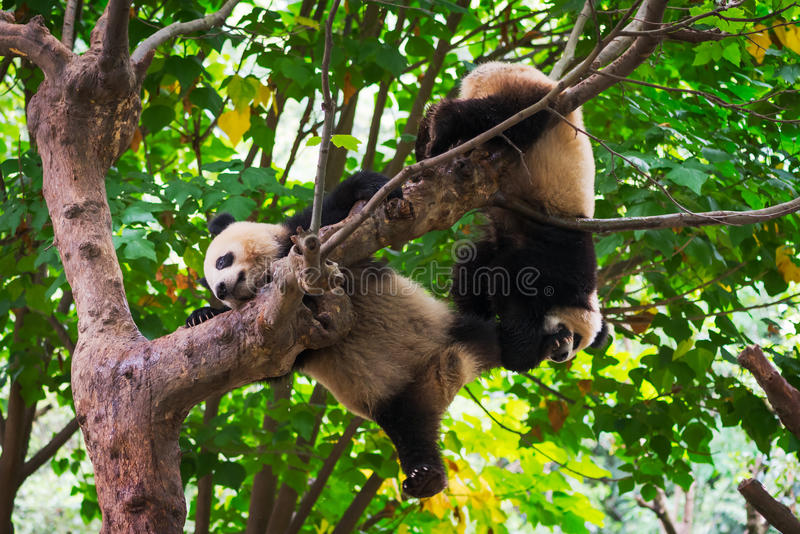 Young giant pandas playing in a tree stock image