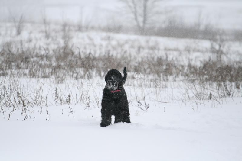 A young giant schnauzer stands in a field in winter. She is tense standing and looks at the photographer. stock photo