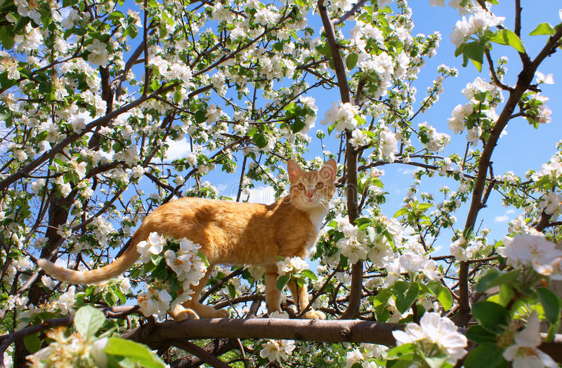 Young ginger cat. On blossoming apple tree royalty free stock photo