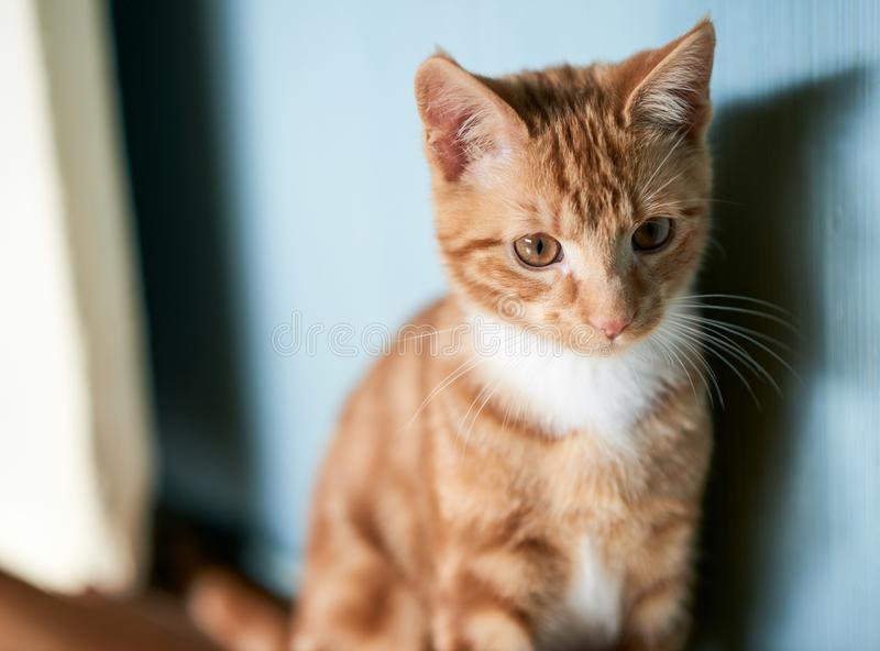Adorable small ginger red kitten sitting against a blue wall looking off camera into the distance. Young ginger red kitten sitting on a well worn old wooden royalty free stock photos