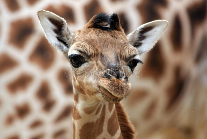 Download Young giraffe stock image. Image of animal, stand, pattern - 18539299