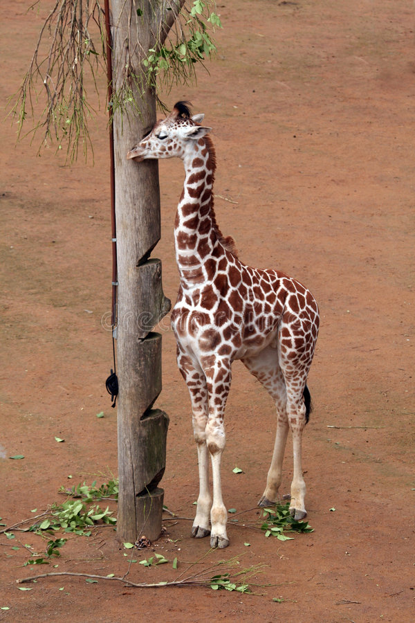 Young Giraffe Royalty Free Stock Photo