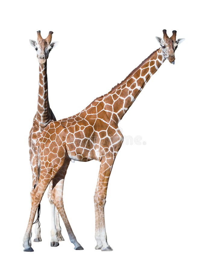 Download Young Giraffe Couple Isolated Stock Image - Image: 3451285