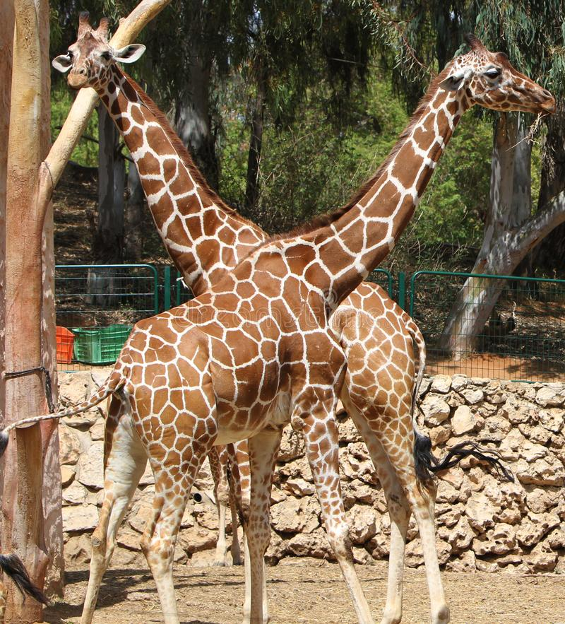 Young giraffe couple at the zoo