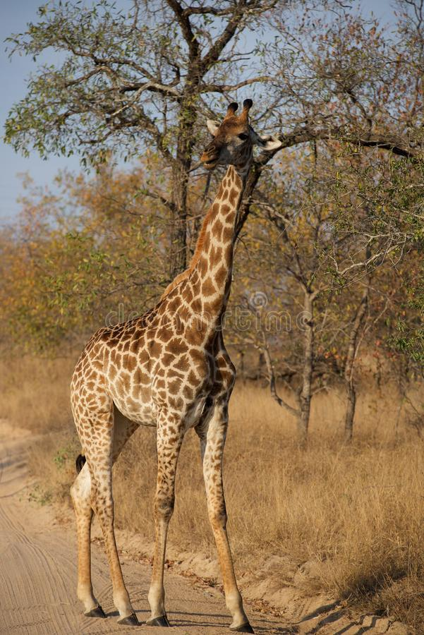 Young Giraffe on the go in Kruger National Park. Giraffe roams the plains of Kruger National Park late in an afternoon royalty free stock images