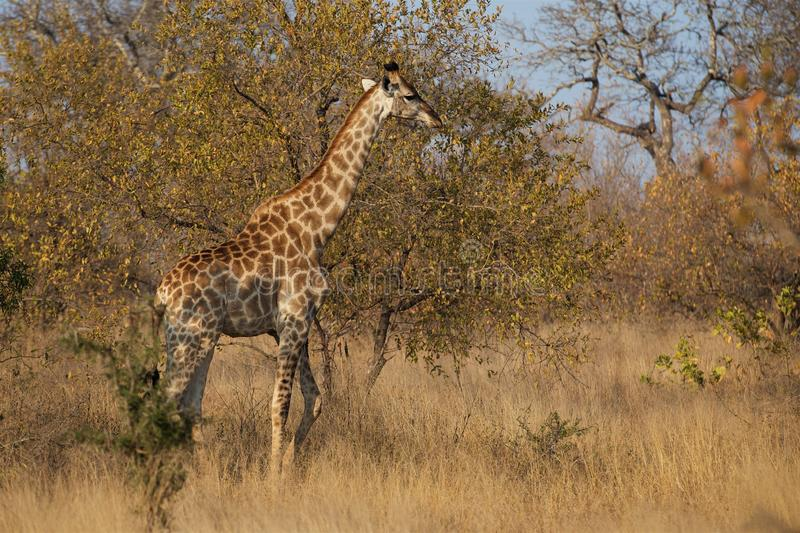 Young Giraffe on the go in Kruger National Park. Giraffe roams the plains of Kruger National Park late in an afternoon stock image