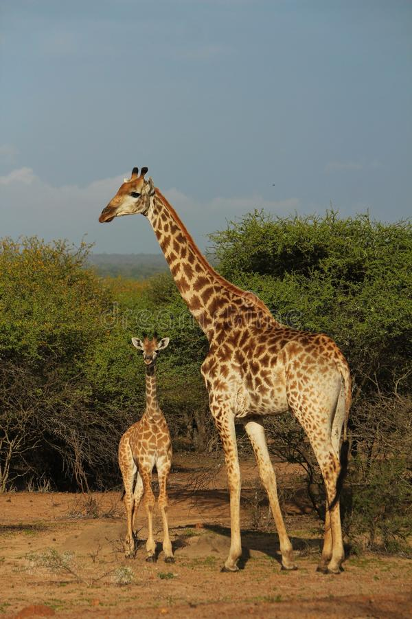 Young giraffe with mom stock images