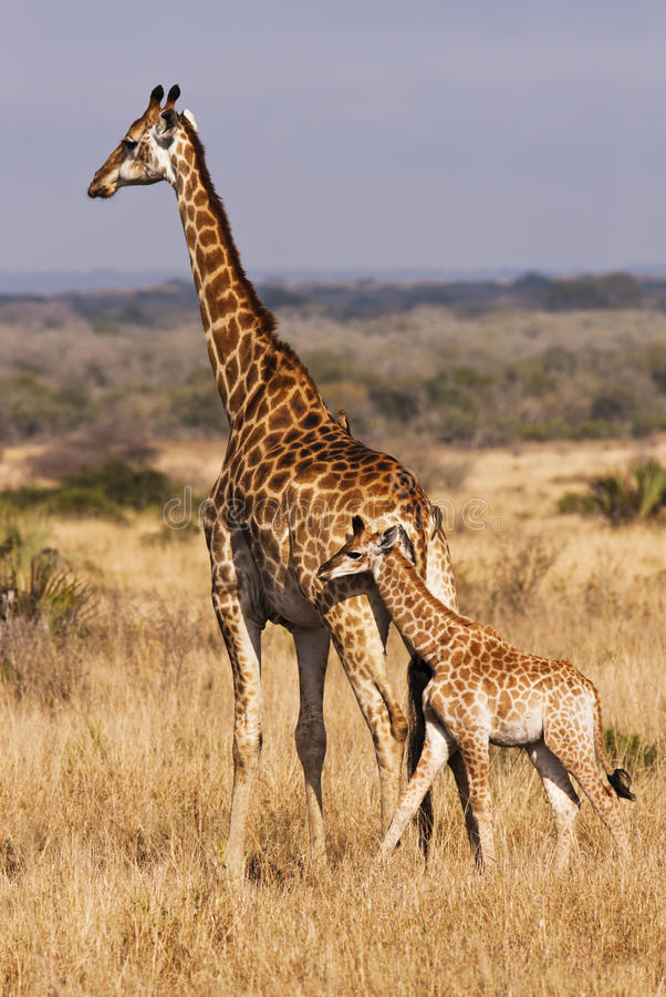 Download Young Giraffe With Mother stock image. Image of camelopardalis - 17960519
