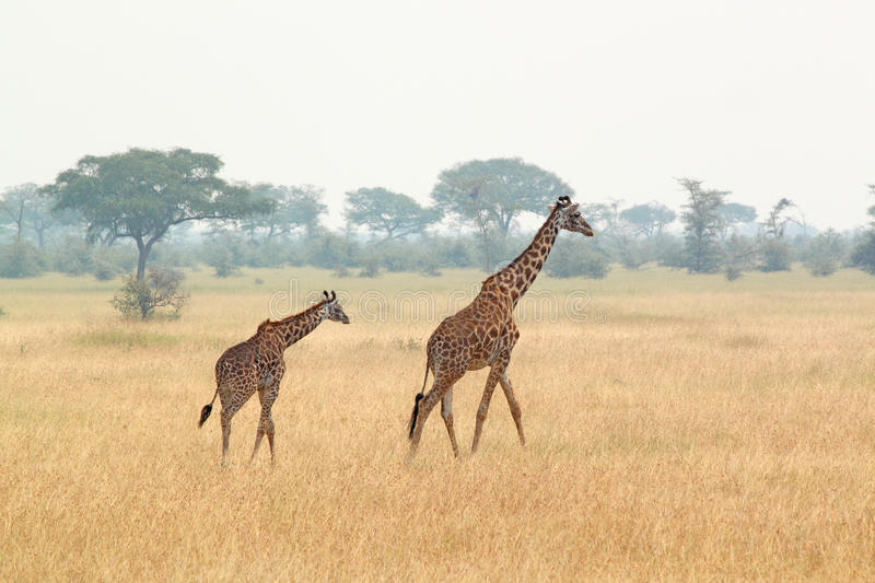 Young giraffe and mother royalty free stock image