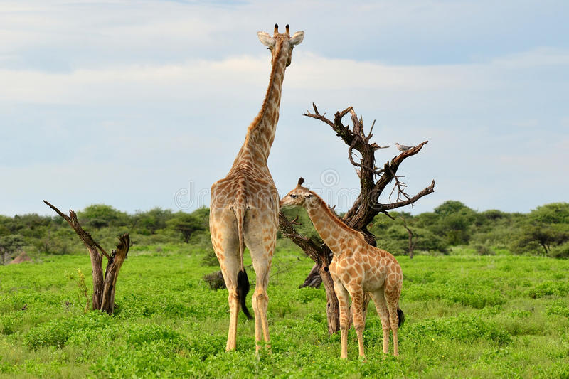 Young giraffe with mum royalty free stock image