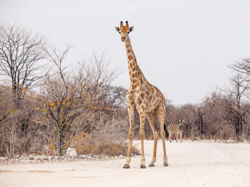 Young giraffe standing on the dusty road, Etosha National Park, Namibia, Africa royalty free stock images