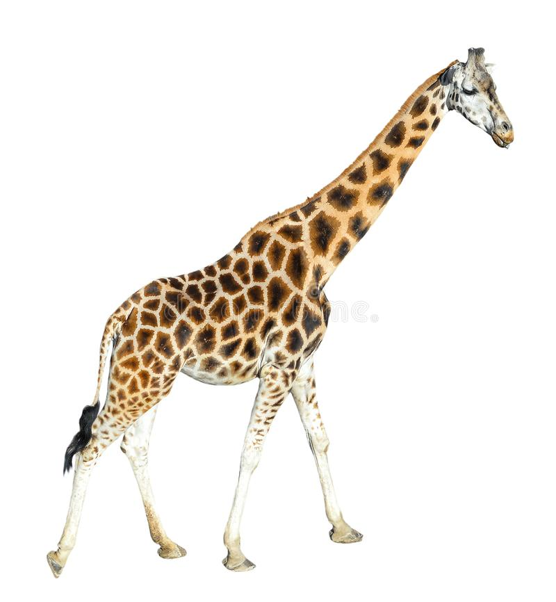 Young giraffe standing full length isolated on white background. Funny walking giraffe close up. royalty free stock photos