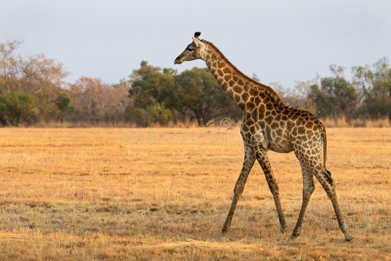 A young giraffe walking in the savanna stock photo