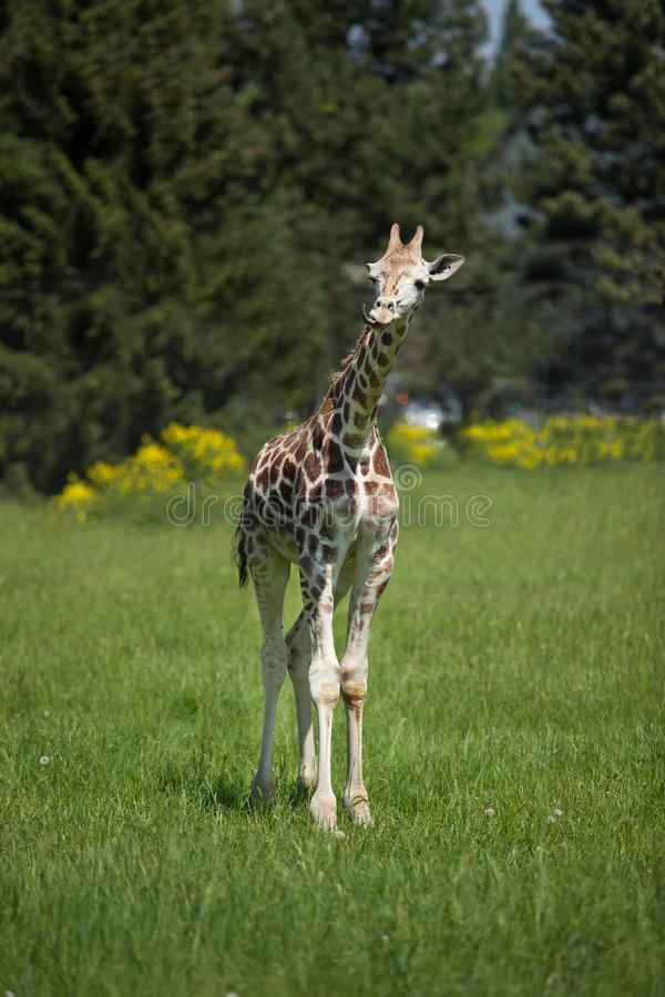 Young giraffe walking on a sunny day over lush grass stock photography