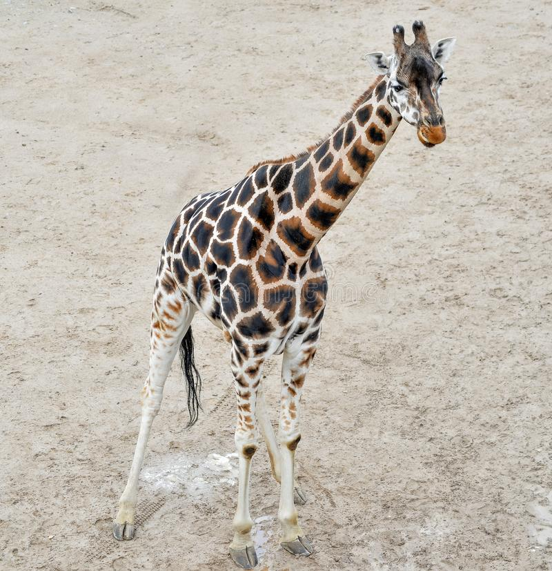 A young giraffe walking in the zoo. Giraffe full length in a natural background. Zoo, safari animals. A young giraffe walking in the zoo. Giraffe full length in royalty free stock photo