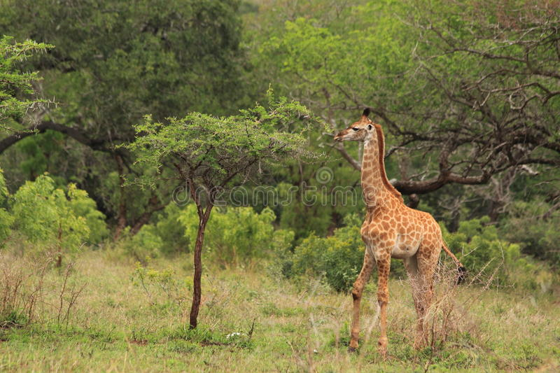 Young giraffe in the wild eating from tree stock image