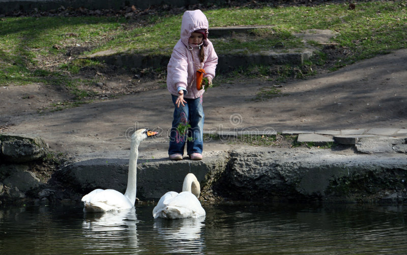 Young Girl Feeding Geese Stock Image