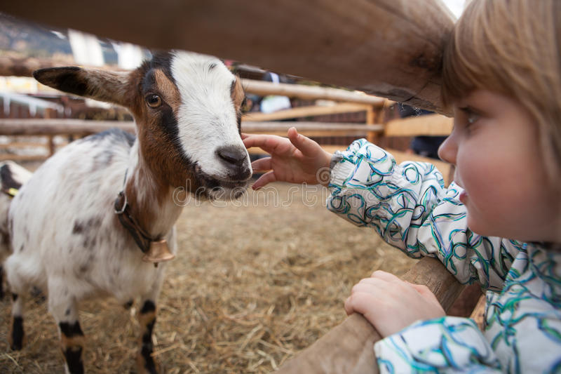A young girl feeding goat. royalty free stock photography