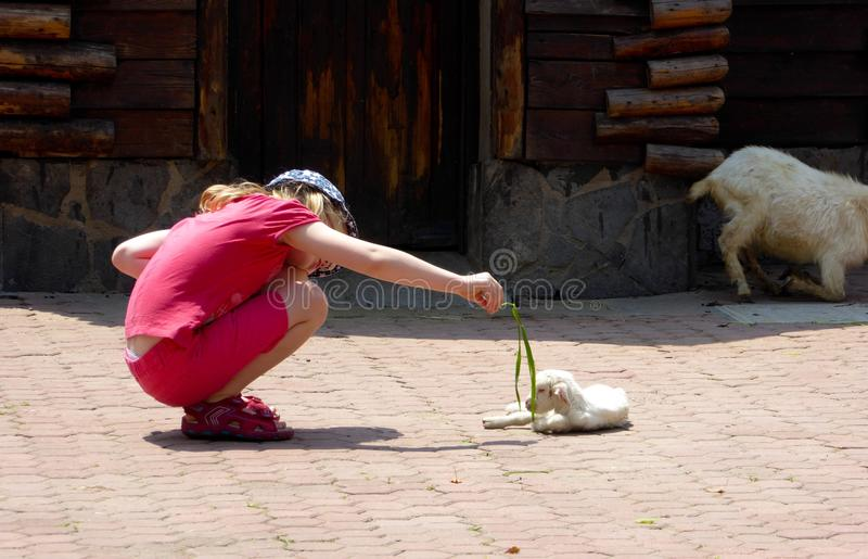 A young girl feeding a little goat royalty free stock image