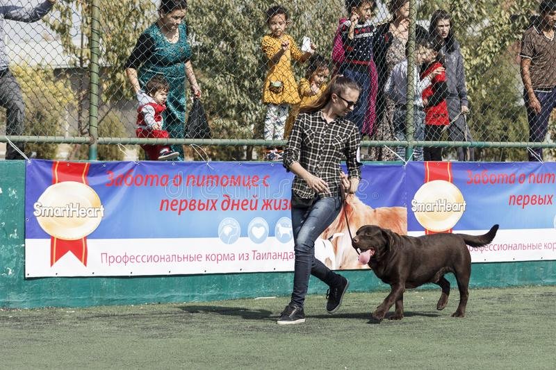 A young girl - Handler with chocolate Labrador in the ring. Tashkent, Uzbekistan. International Dog Show Oltin It October 15, 2017 royalty free stock photography