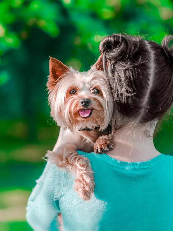 A young girl holding her pet Yorkshire terrier on her arms. A happy dog with tongue hanging out. Dog and human royalty free stock photography