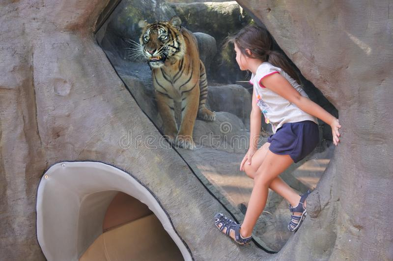 Young girl looking at Bengal Tiger royalty free stock image