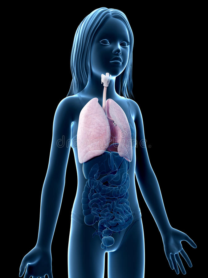 Young girl - the lung. Anatomy of a young girl - the lung stock illustration