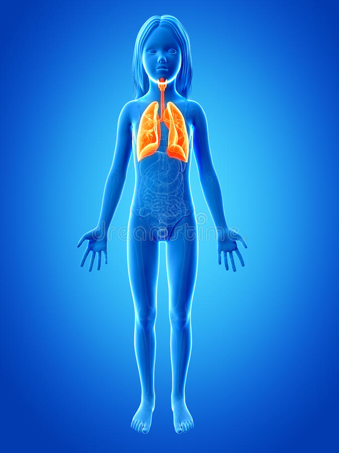 Young girl - the lung. Anatomy of a young girl - the lung royalty free illustration