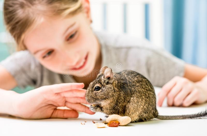 Young girl observe the degu squirrel stock photography