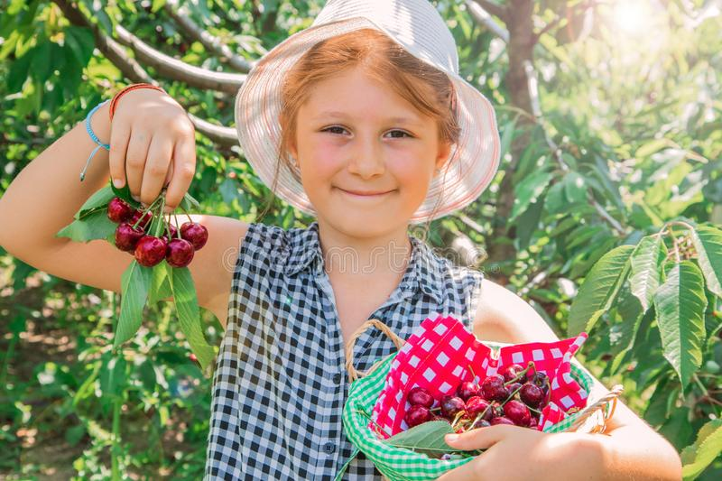 Young girl is  picking cherry on a fruit farm. Child pick cherries in summer orchard royalty free stock photos